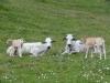 mucche-fassone